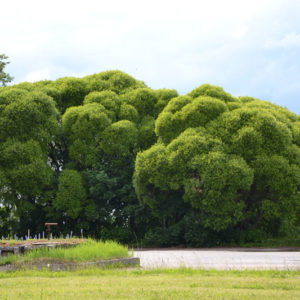 Ива ломкая Буллата <br>Salix fragilis Bullata