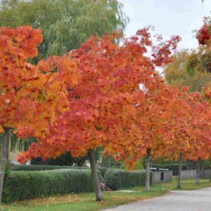 Рябина Додонг <br>Sorbus aucuparia Dodong