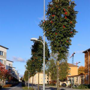 Рябина обыкновенная Фастигиата <br>Sorbus aucuparia Fastigiata