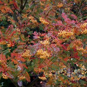 Рябина обыкновенная Джозеф Рок <br>Sorbus aucuparia Joseph Rock