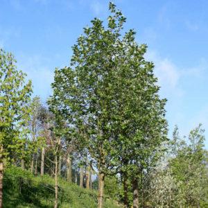 Рябина промежуточная Брауверс <br>Sorbus intermedia Brouwers