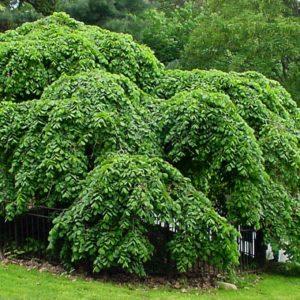 Вяз шершавый Кампердауни <br>Ulmus glabra Camperdownii