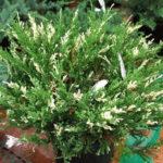 Можжевельник Андорра Вариегата <br>Juniperus Andora Variegata