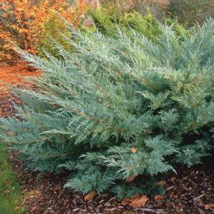 Можжевельник виргинский Хетц <br>Juniperus virginiana Hetz