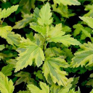 Пузыреплодник Аннис Голд <br>Physocarpus opulifolius Anny's Gold