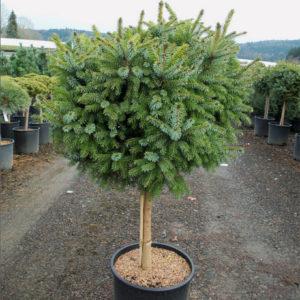 Picea omorika Nana-штамб