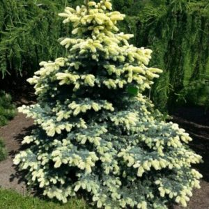 Ель колючая Биалабок <br>Picea pungens Bialobok