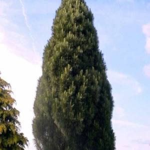 Pinus nigra Pyramidalis