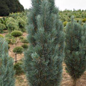 Pinus sylvestris Fastigiata 01