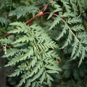 Рябина обыкновенная Аспленифолия <br>Sorbus aucuparia Asplenifolia