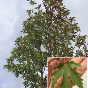Клен сахаристый (серебристый) Пирамидале <br>Acer saccharinum Pyramidale