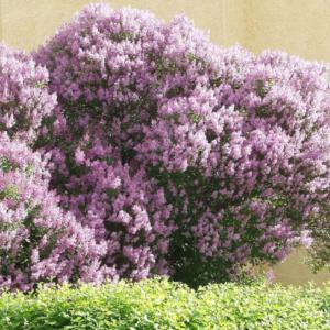 Сирень венгерская <br>Syringa josikaea