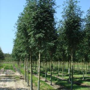 Рябина обыкновенная Шиервотер Сидлинг <br>Sorbus aucuparia Sheerwater Seedling