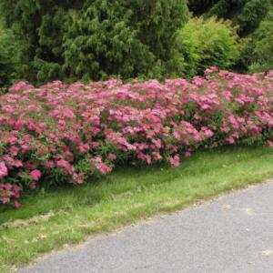 Спирея японская Фробели <br>Spiraea japonica Froebelii