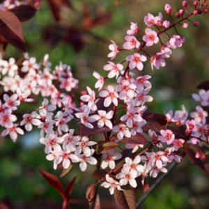 Черемуха обыкновенная Колората <br>Prunus padus Colorata