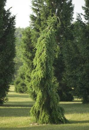 Ель сербская Пендула Брунс<br>Picea omorika Pendula Bruns