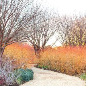 Дерен кроваво-красный Винтер Бьюти<br> Cornus sanguinea Winter Beauty
