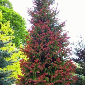 Ель обыкновенная Рыдал <br>Picea abies Rydal