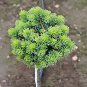 Ель колючая Брайнек на штамбе <br>Picea pungens Brynek PA80-100