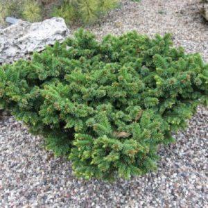 Ель колючая Кесарини <br>Picea pungens Mrs. Cesarini