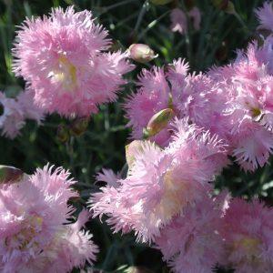 Гвоздика махровая розовая