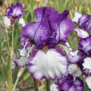 Ирис германский Iris germanica