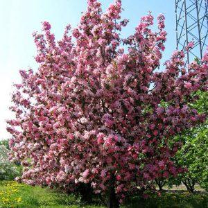 Яблоня декоративная Ола Malus Ola