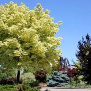 Клен остролистный Друммонди <br>Acer platanoides Drummondii