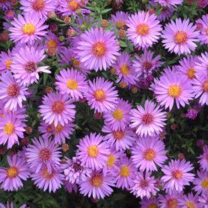 Астра кустовая Вудс Пурпл <br>Aster dumosus Wood's Purple