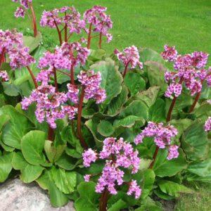 Бадан сердцелистный Ротблюм<br>Bergenia cordifolia Rotblum