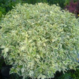 Дерен белый Элегантисима <br>Cornus alba Elegantissima