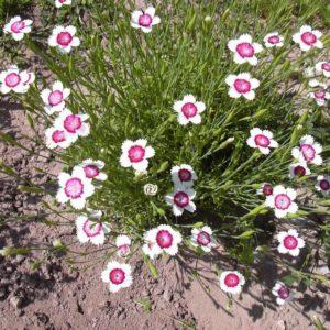 Гвоздика травянка (бело-розовая) <br>Dianthus deltoides