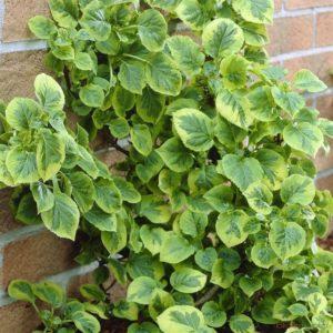 Гортензия черешковая Миранда<br />Hydrangea petiolaris Miranda