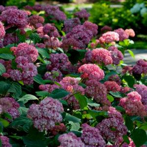 Гортензия древовидная Бэлла Анна <br>Hydrangea arborescens Вella Anna