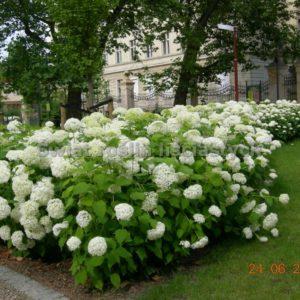 Гортензия древовидная Аннабель <br>Hydrangea arborescens Annabelle