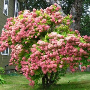 Гортензия метельчатая Грандифлора <br>Hydrangea paniculata Grandiflora