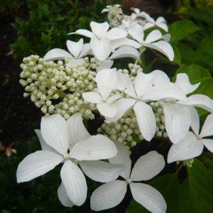 Гортензия метельчатая Грет Стар <br>Hydrangea paniculata Great Star