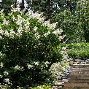 Гортензия метельчатая Тардива <br>Hydrangea paniculata Tardiva