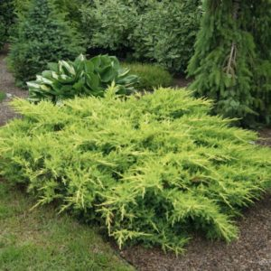 Можжевельник средний Голдкиссен <br>Juniperus pfitzeriana Goldkissen