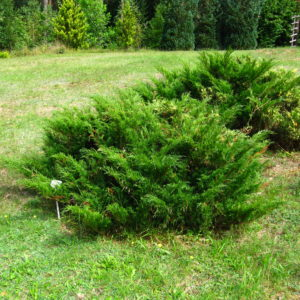 Можжевельник казацкий <br>Juniperus sabina