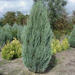 Можжевельник скальный Скайрокет <br>Juniperus scopulorum Skyrocket