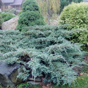 Можжевельник чешуйчатый Блю Карпет <br>Juniperus squamata Blue Carpet