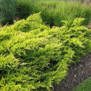 Можжевельник средний Олд Голд <br>Juniperus pfitzeriana Old Gold