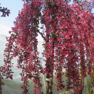 Яблоня плакучая Роял Бьюти <br>Malus Royal Beauty