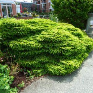 Ель обыкновенная Нидиформис <br>Picea abies Nidiformis