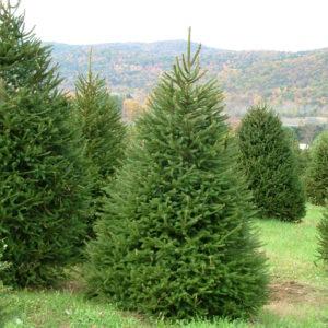 Ель обыкновенная <br>Picea abies
