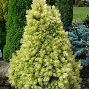 Ель сизая (канадская) Дези Вайт<br>Picea glauca Daisy's White