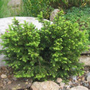 Ель сербская Карл <br>Picea omorika Karel