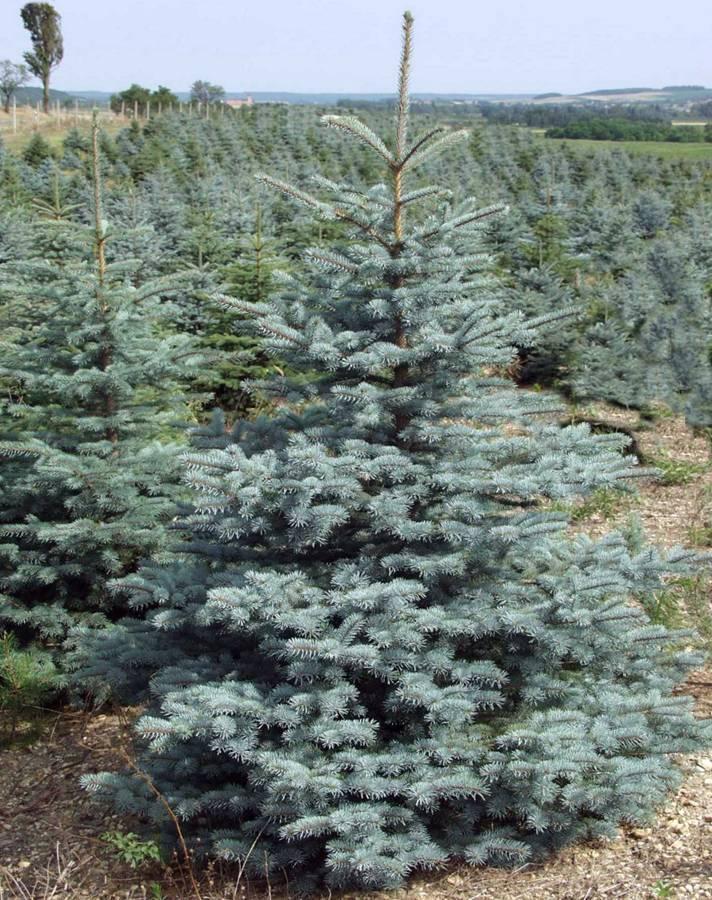 Купить Ель колючая Глаука Супер Блю Picea pungens Glauca Super Blue