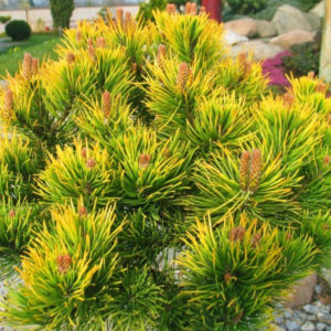 Сосна горная Винтер Голд <br>Pinus mugo Winter Gold